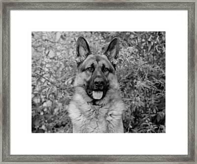 German Shepherd Dog In Black And White Framed Print