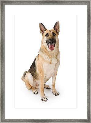 German Shepherd Dog Isolated On White Framed Print by Susan Schmitz
