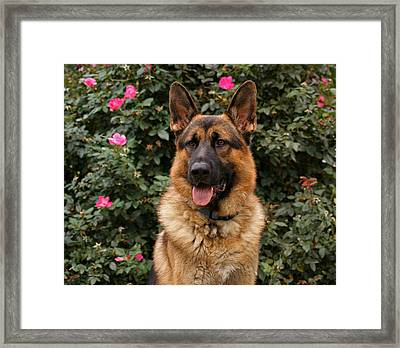 German Shepherd Dog Framed Print by Sandy Keeton