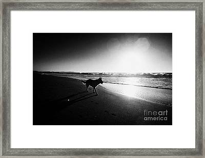 German Shepherd Dog Walking Along Beach With Sun Setting On The Pacific Ocean Los Pellines Chile Framed Print by Joe Fox
