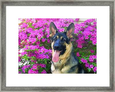 German Shepherd Dog With Azaleas Framed Print