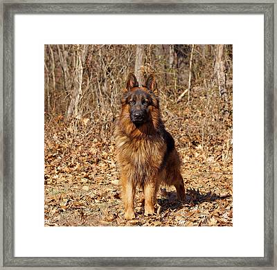 German Shepherd - Gusto Framed Print