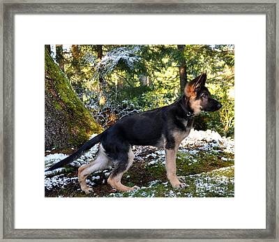 German Shepherd Pup Framed Print