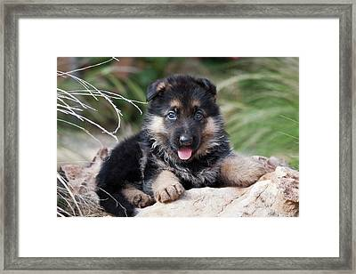 German Shepherd Puppy Lying On A Rock Framed Print by Zandria Muench Beraldo