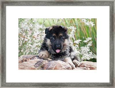 German Shepherd Puppy Lying On Rock Framed Print by Zandria Muench Beraldo