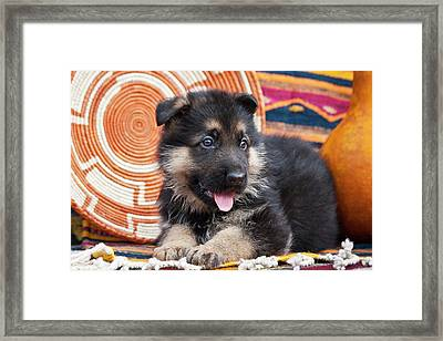 German Shepherd Puppy Lying Framed Print