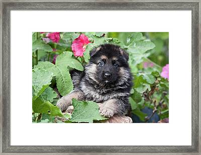 German Shepherd Puppy Peeking Framed Print