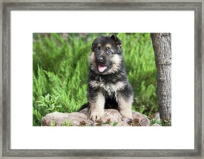 German Shepherd Puppy Sitting On A Rock Framed Print