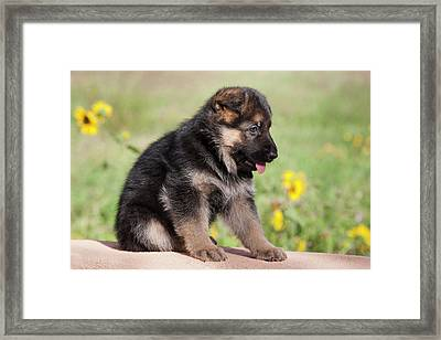 German Shepherd Puppy Sitting On Adobe Framed Print