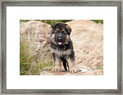 German Shepherd Puppy Standing Framed Print by Zandria Muench Beraldo