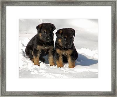 Framed Print featuring the photograph German Shepherd Pups by Aimee L Maher Photography and Art Visit ALMGallerydotcom