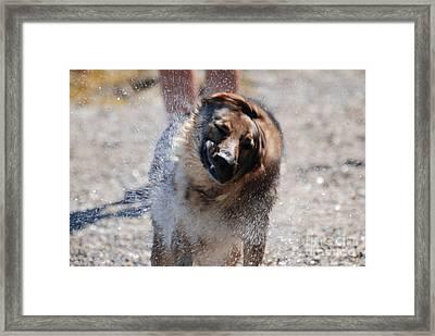 German Shepherd Shake Framed Print