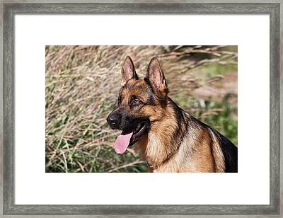German Shepherd Sitting Alert Next Framed Print by Zandria Muench Beraldo