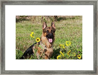 German Shepherd Sitting Framed Print by Zandria Muench Beraldo