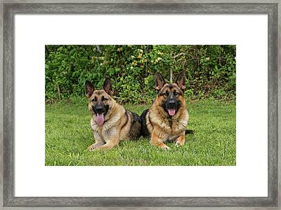 German Shepherds - Mother And Son Framed Print by Sandy Keeton
