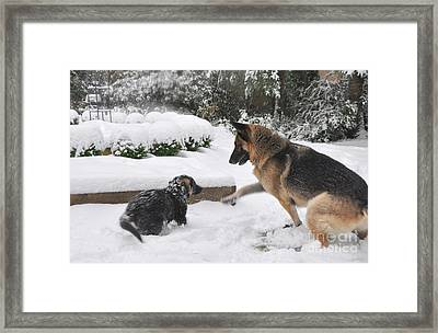 Framed Print featuring the photograph German Shepherds Playing In The Snow by Tanya  Searcy