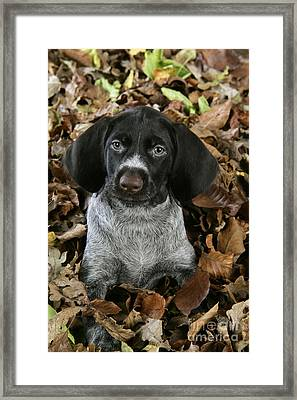 German Wire-haired Pointer Puppy Framed Print by John Daniels