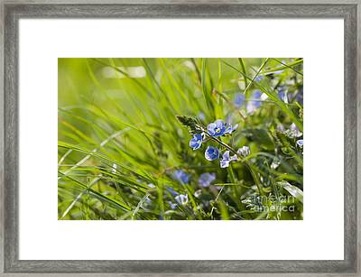 Germander Speedwell Framed Print by Anne Gilbert