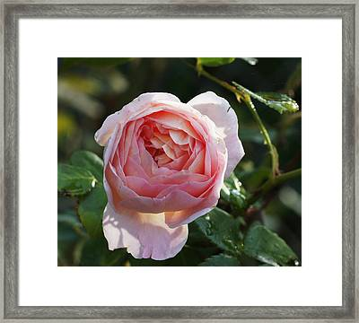 Gertrude Jeykell Old World Rose Framed Print by Rosemarie E Seppala
