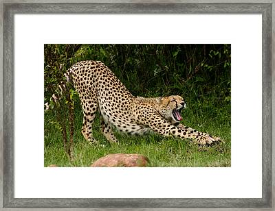 Getting Ready Framed Print by Menachem Ganon