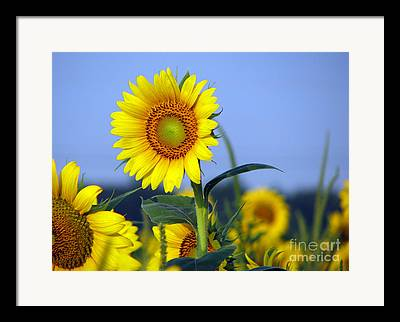 Sunflower Field Digital Art Framed Prints