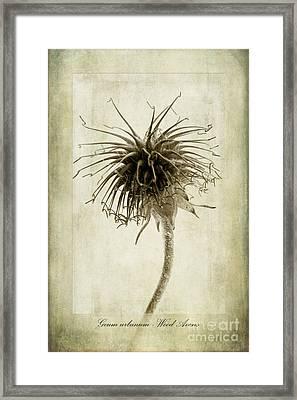 Geum Urbanum In Sepia Framed Print by John Edwards