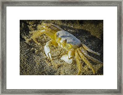 Ghost Crab Framed Print by Bradley Clay