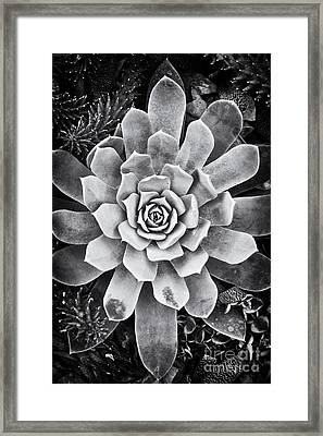 Ghost Echeveria Framed Print by Tim Gainey