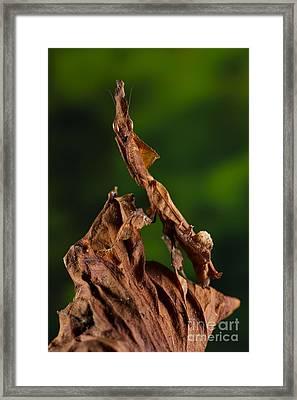 Ghost Or Dead Leaf Mantis Framed Print by Francesco Tomasinelli
