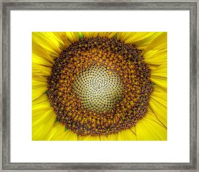 Ghost Sunflower Framed Print by Marianna Mills