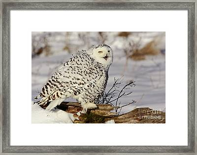 Ghostly Presence- Snowy Owl Framed Print by Inspired Nature Photography Fine Art Photography