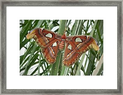 Giant Atlas Moth Framed Print