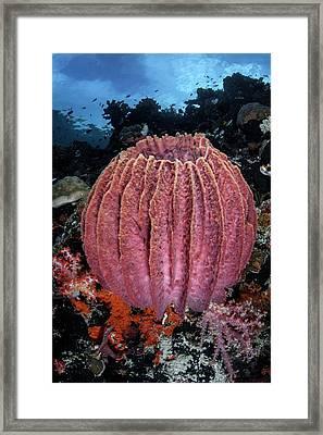 Giant Barrel Sponge Framed Print