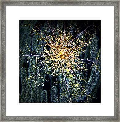 Giant Basket Star At Night Framed Print by Amy McDaniel
