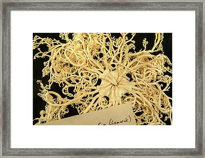 Giant Basket Star Framed Print by Natural History Museum, London