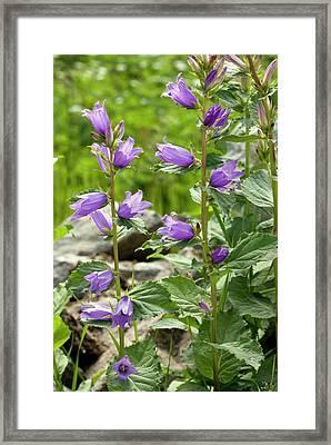 Giant Bellflower (campanula Latifolia) Framed Print