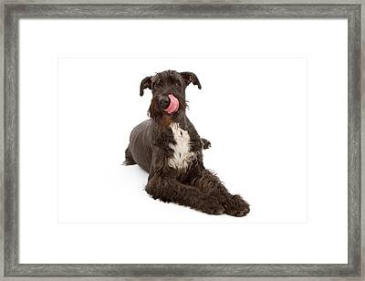 Giant Black Schnauzer Dog Licking Lips Framed Print by Susan Schmitz