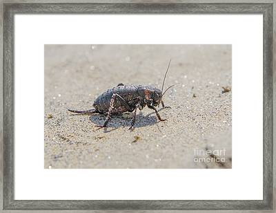 Framed Print featuring the photograph Giant Bradyporid Bushcricket - Bradyporus Dasypus by Jivko Nakev
