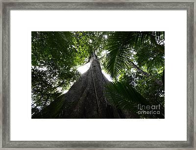 Giant Cashew Tree Amazon Rainforest Brazil Framed Print