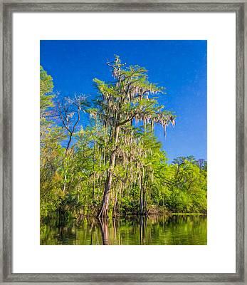 Giant Cypress - Paint Framed Print by Steve Harrington