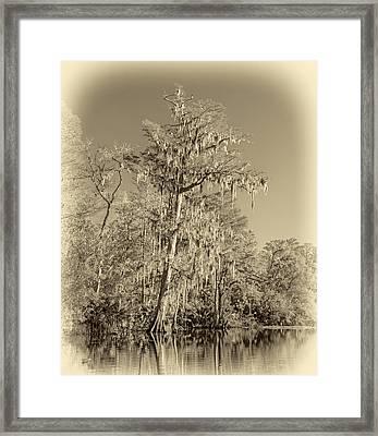 Giant Cypress - Sepia Framed Print by Steve Harrington