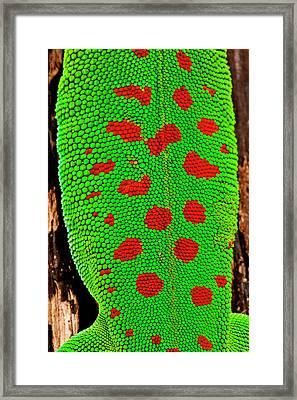 Giant Day Gecko, Phelsuma Framed Print