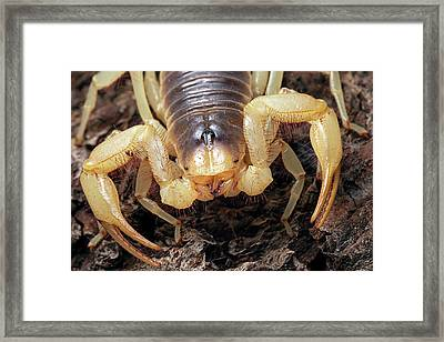 Giant Desert Hairy Scorpion Framed Print by Alex Hyde