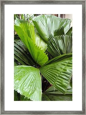 Giant Fan Cactus Framed Print by Barb Baker