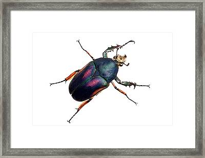 Giant Flower Beetle Framed Print by Alex Hyde