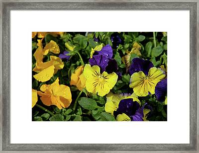 Giant Garden Pansies Framed Print