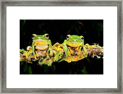 Giant Gliding Treefrog, Polypedates Kio Framed Print by David Northcott