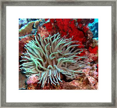 Giant Green Sea Anemone Against Red Coral Framed Print by Amy McDaniel