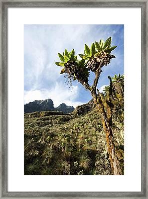 Giant Groundsel, Tree Senecio Framed Print