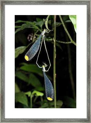 Giant Helicopter Damselflies Framed Print by Dr Morley Read